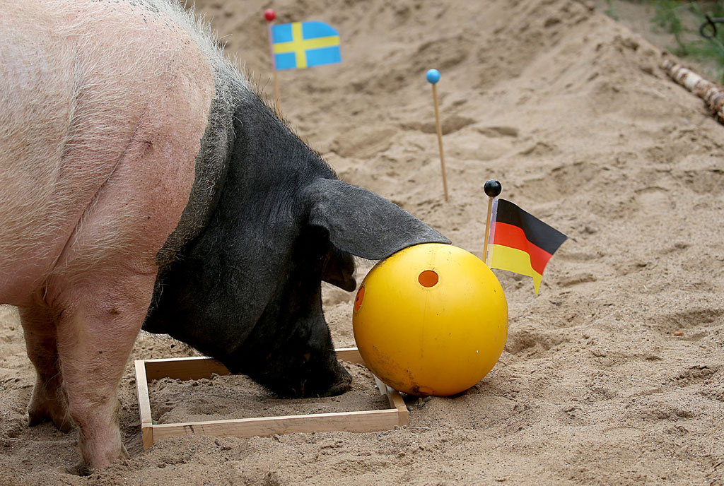 "Oracle pig ""Eberhard"", nicknamed ""Harry"", places his tip for the football match between Germany and Sweden to be played during the FIFA Football World Cup taking place in Russia, on June 21, 2018 in Cologne, western Germany. Eberhard, who had a nose for the result of Germany's first World Cup match by predicting a victory of Mexico, this time tipped Germany to win. AFP PHOTO"